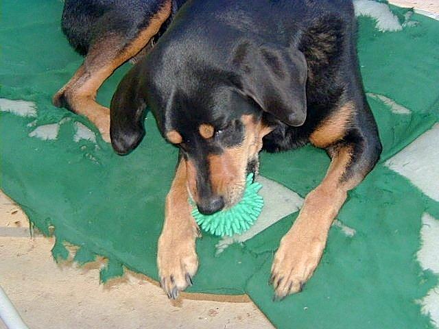 Dog before restoring